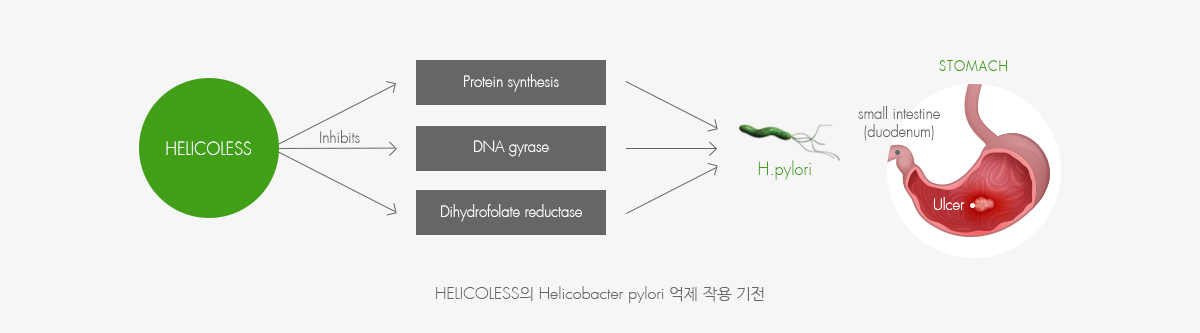 HELICOLESS의 Helicobacter pylori 억제 작용 기전